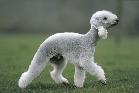 1 bedlingtonterrier