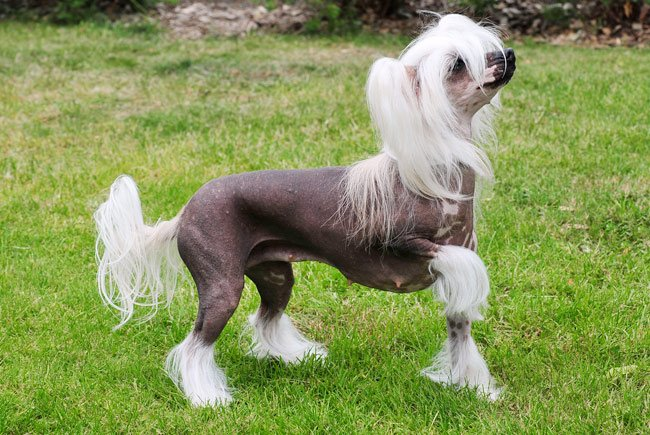 3 chinese crested