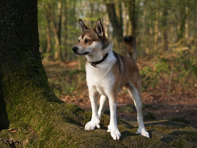 5 norwegian lundehund