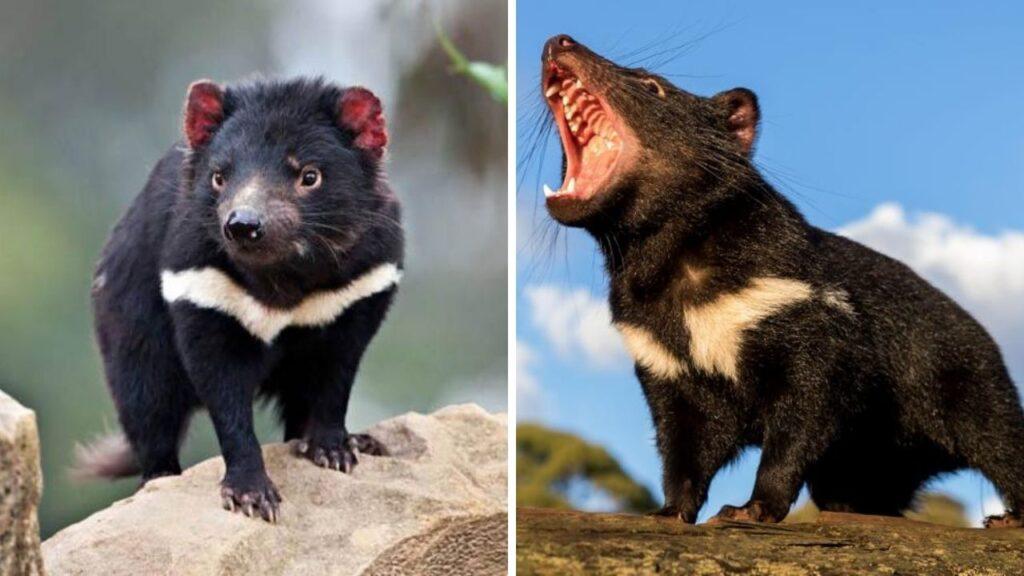 el-demonio-de-tasmania