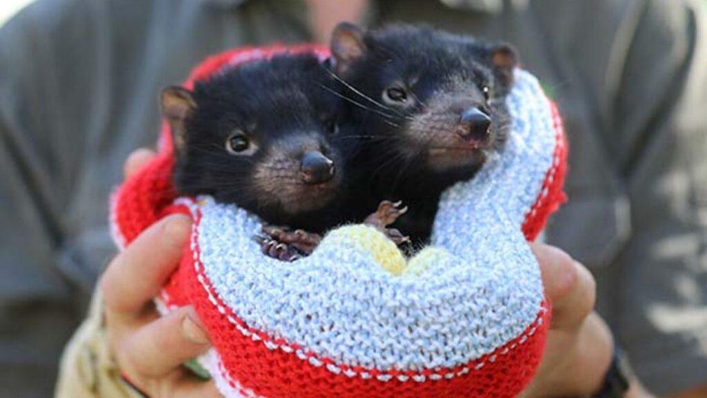 demonio-de-tasmania-bebe